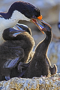 King Shag and chick feeding, Falkland Islands