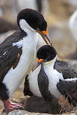 King Shags grooming, Falkland Islands