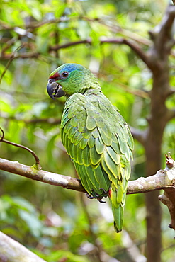 Festive amazon on a branch, Amazon river basin Brazil