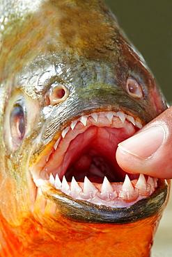 Red-bellied Piranha teeth, Rio Ipixuna Brazil Amazon