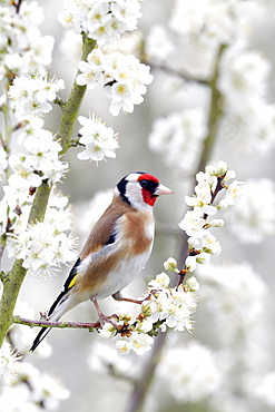 Goldfinch on blossom- Warwickshire England UK