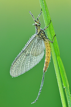 Dewy Mayfly warming, Prairie Fouzon France