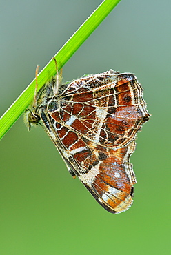 Map Butterfly on a stem, Prairie Fouzon France