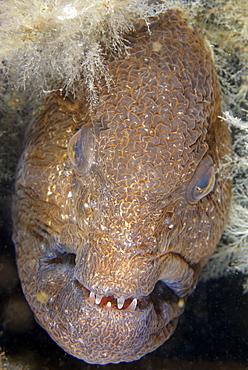 Portrait of Wolf-Eel female, Pacific Ocean Alaska USA