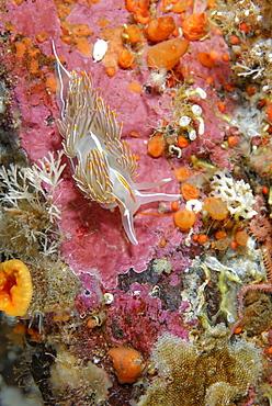 Opalescent Nudibranch on reef, Alaska Pacific Ocean