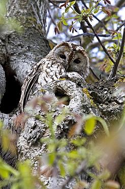 Tawny Owl in Walnut tree, Auvergne France