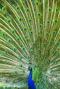 Male Indian Peafowl displaying, Zoo Berlin Germany