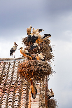 White storks on the Collegiate Church of San Miguel, Spain