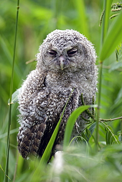 Young Tawny Owl in a reed bed, Danube Delta Romania
