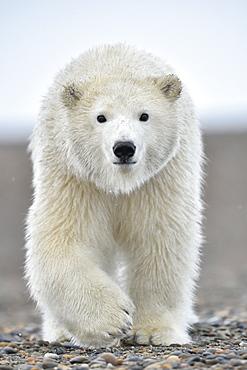 Polar bear walking on the shore, Barter Island Alaska