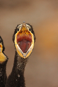 Portrait of young White-breasted Cormorant hungry