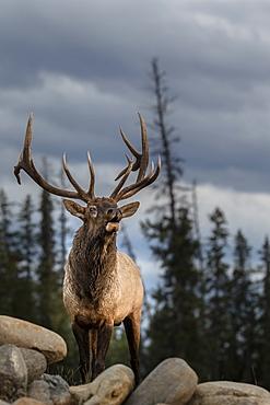 Wapiti bellowing on rock, Jasper Canada