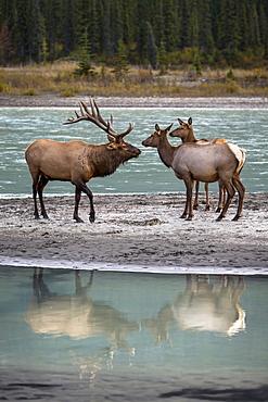 Male Wapiti and hinds on the bank, Jasper Canada