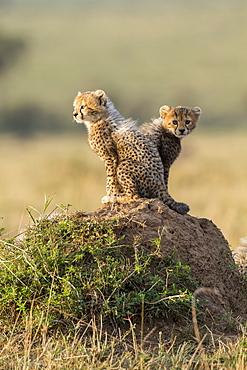Kenya, Masai-Mara game reserve, cheetah (Acinonyx jubatus), cubs 3 months old