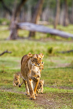 Kenya, Masai-Mara game reserve, Lion (Panthera leo), female carrying one its cubs