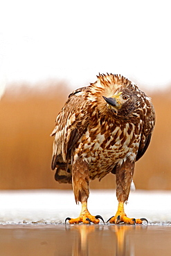 White-tailed Eagle (Haliaeetus albicilla) on the ice , looking , turning his head , Hungary