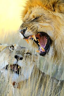 African Lion (Panthera leo) pair mating, Kalahari desert, South Africa