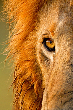 Eye of Lion (Panthera leo) male, Kenya