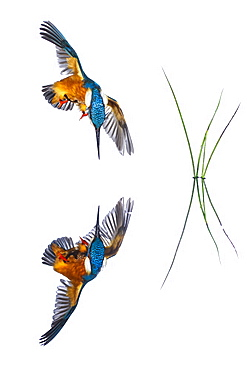 Common Kingfisher (Alcedo atthis) in flight and reflection on white background