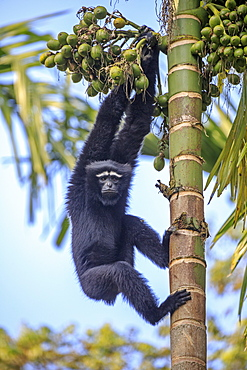 Western hoolock gibbon (Hoolock hoolock), male on a trunk, Gumti wildlife sanctuary, Tripura state, India