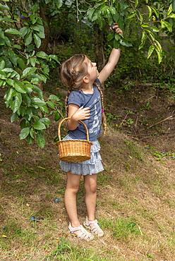 Girl picking 'Stanley' plums, summer, Alsace, France