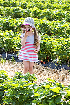 Girl eating strawberries in the middle of a field of strawberries, spring, Pas de Calais, France