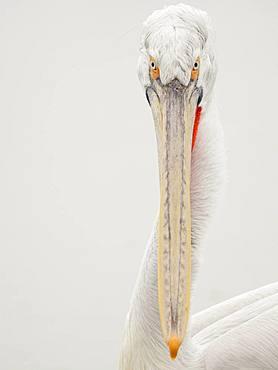 A simply portrait of a Dalmatian Pelican (Pelecanus crispus) in Greece.