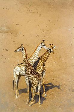 Giraffe (Giraffa camelopardalis) in Kruger National park, South Africa