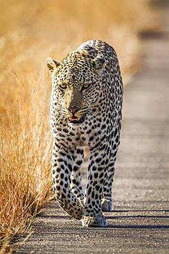 Leopard (Panthera pardus) in Kruger National park, South Africa