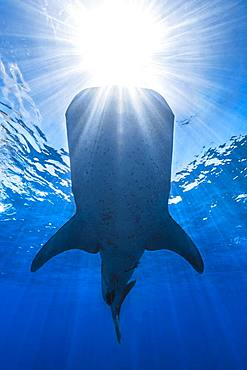 Whale shark (Rhincodon typus) in daylight, Nosy Be, Madagascar