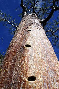 Trunk of a Baobab (Adansonia rubrostipa), the notches dug in the trunk are used to climb on the tree, Ifaty, Province of Tulear, Madagascar