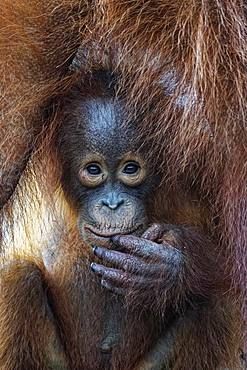 Portrait of young Orang utan (Pongo pygmaeus), Tanjung Puting, Kalimantan, Indonesia