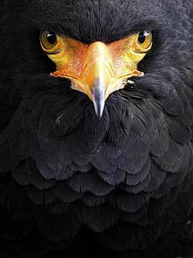 Bateleur (Terathopius ecaudatus). A captive Bataleur Eagle stands watch at an educational event in the UK.