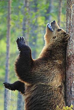 Brown bear (Ursus arctos) male rubbing his back on a pine tree to leave his scent, Finland