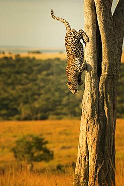 Leopard descens from his tree to collect a Mongoose in the Maasai Mara, Kenya.