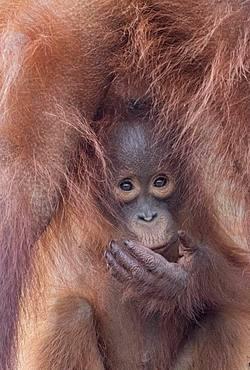 Bornean orangutan (Pongo pygmaeus pygmaeus), Adult female with a baby, detail, Tanjung Puting National Park, Borneo, Indonesia