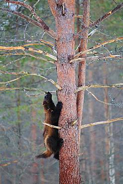 Wolverine (Gulo gulo) climbing in a pine tree in the boreal forest in winter