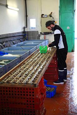 Establishment of oyster spat at an oyster farmer Etang de Thau, France