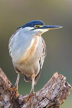 Green-backed Heron (Butorides striata) on a branch, KwaZulu-Natal, South Africa