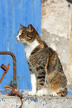 Cat sitting on a wall, Port of Essaouira, Morocco