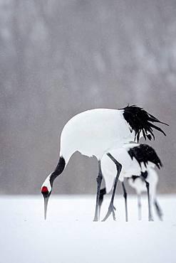 Japanese crane (Grus japonensis) in the snow, Hokkaido, Japan.