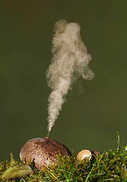 Common puffball (Lycoperdon perlatum) expelling spores, Spain