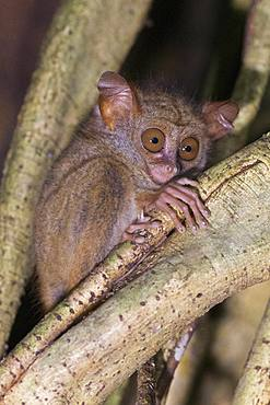 Spectral tarsier (Tarsius spectrum, also called Tarsius tarsier), Tangkoko National Park, Sulawesi, Celebes, Indonesia