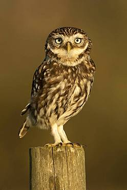 Little owl (Athena noctua) perched on a post, England