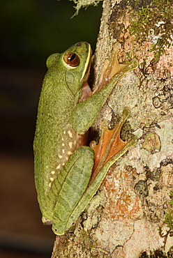 Dagger treefrog (Boophis albilabris) on a branch, Andasibe, Périnet, Région Alaotra-Mangoro, Madagascar