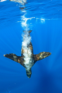 California Sea Lion (Zalophus californianus) dive fast to feed on sardine's bait ball (Sardinops sagax), Magdalena Bay, West Coast of Baja California, Pacific Ocean, Mexico