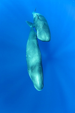 Couple of sperm whale, (Physeter macrocephalus), Vulnerable (IUCN), The sperm whale is the largest of the toothed whales. Sperm whales are known to dive as deep as 1,000 meters in search of squid to eat. Image has been shot in Dominica, Caribbean Sea, Atlantic Ocean. Photo taken under permit n°RP 16-02/32 FIS-5.