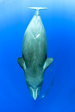 Sleeping sperm whale, (Physeter macrocephalus), Vulnerable (IUCN), The sperm whale is the largest of the toothed whales. Sperm whales are known to dive as deep as 1,000 meters in search of squid to eat. Image has been shot in Dominica, Caribbean Sea, Atlantic Ocean. Photo taken under permit n°RP 16-02/32 FIS-5.