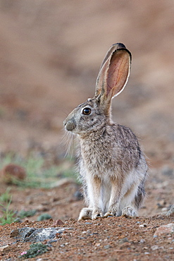 Scrub hare (Lepus saxatilis), Private reserve, South Africa