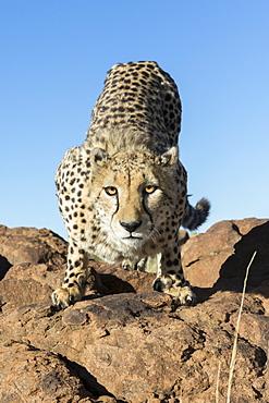 Cheetah (Acinonyx jubatus), on rock, Private reserve, South Africa